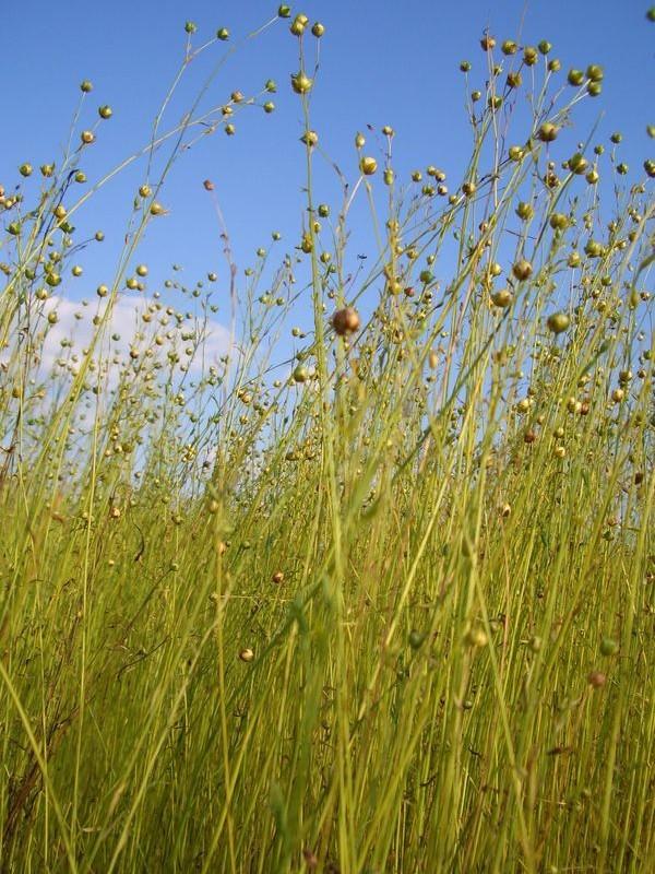 detoxifierea organismului cu seminte de in papilom la nivelul pleoapelor la bărbați