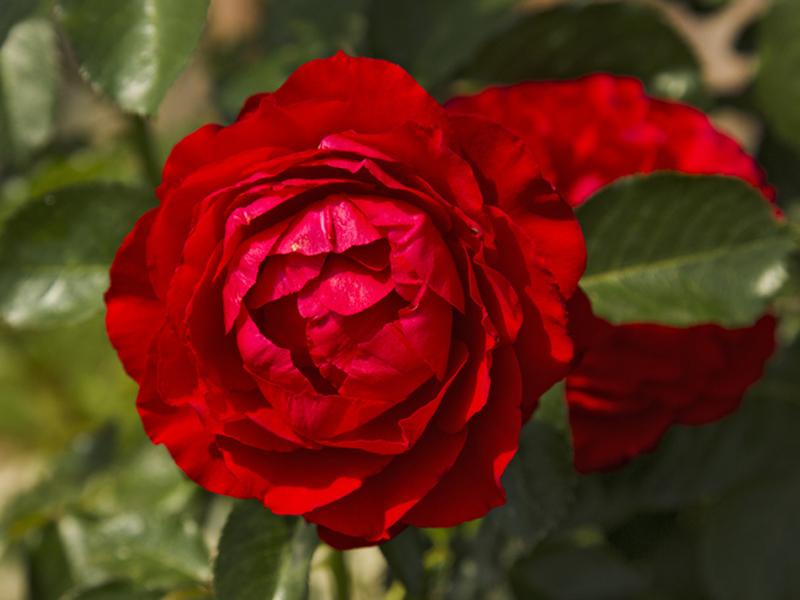 infuzie de trandafiri pentru viziune)